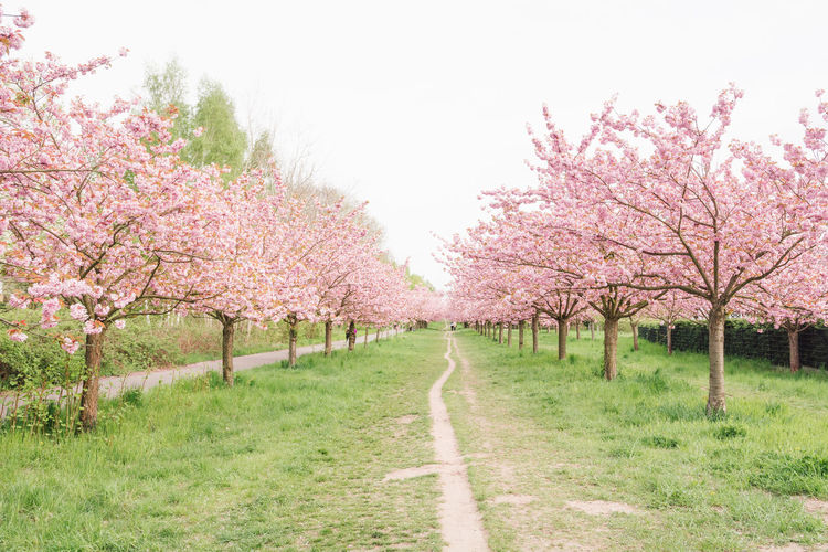 japanese cherry blossoms Almond Tree Beauty In Nature Berlin Blossom Branch Cherry Tree Day Flower Fragility Freshness Grass Growth Japanese Cherry Blossoms Nature No People Orchard Outdoors Pink Color Scenics Season  Spring 2017 Springtime The Way Forward Tranquility Tree