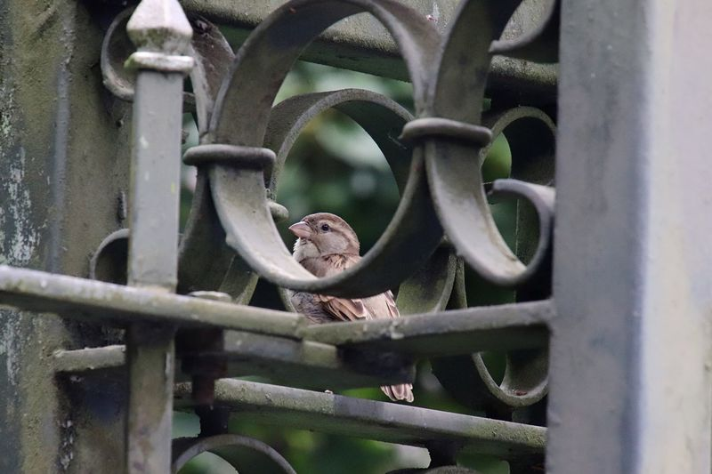 Close-up of sparrow on metal gate