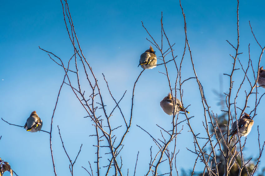 Wintertime Animal Animal Themes Animal Wildlife Animals In The Wild Beauty In Nature Bird Blue Branch Day Group Of Animals Low Angle View Nature No People Outdoors Plant Sky Tree Two Animals Vertebrate Waxwing Waxwings