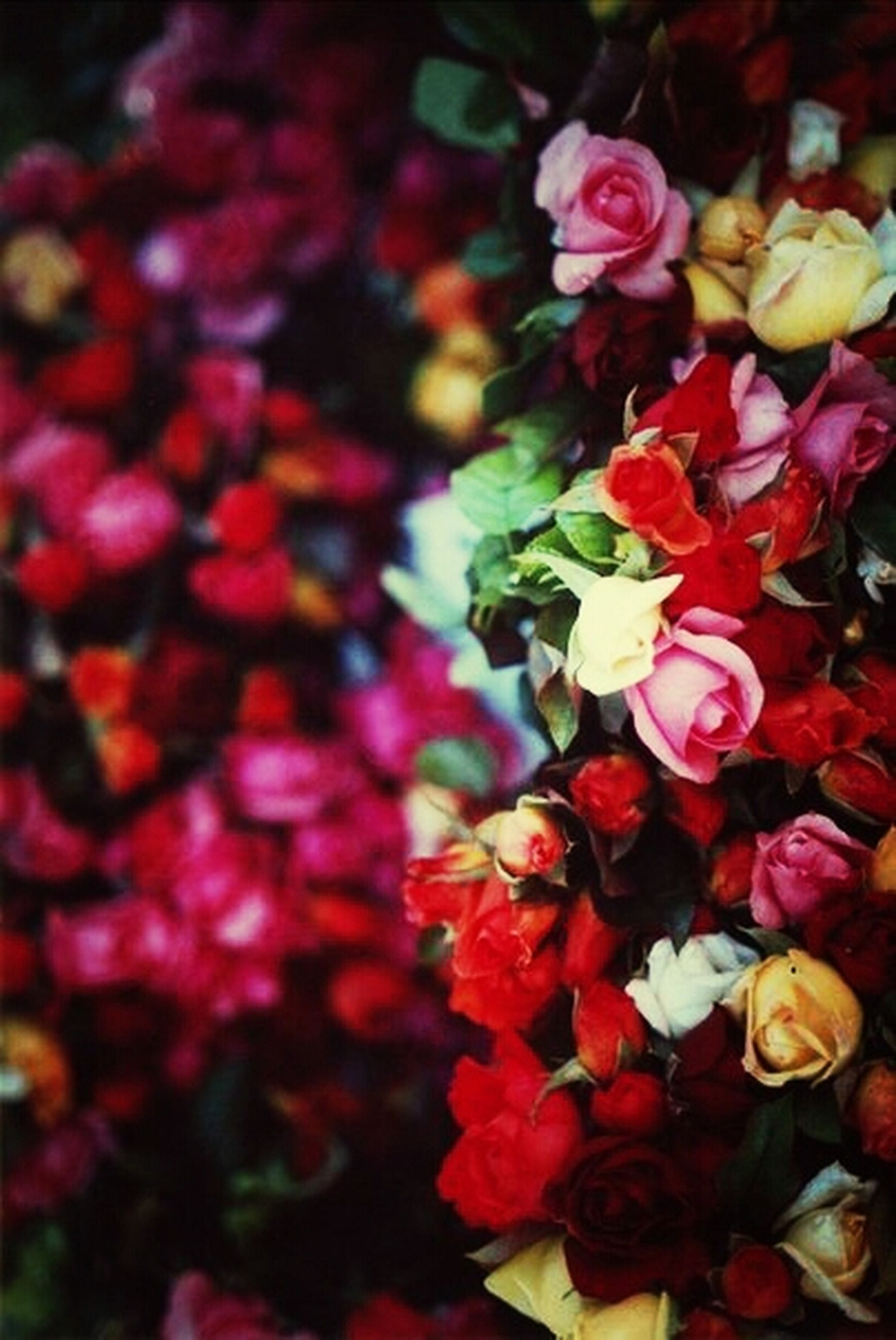 flower, freshness, petal, fragility, flower head, beauty in nature, blooming, growth, abundance, red, nature, close-up, tulip, plant, rose - flower, in bloom, multi colored, high angle view, bunch of flowers, full frame