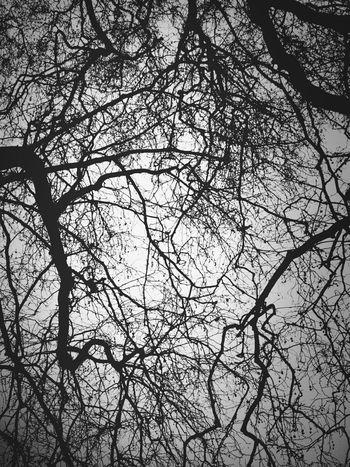 Pulmonary Arteries Trees Andrographer Pulmonary Arteries Blackandwhite