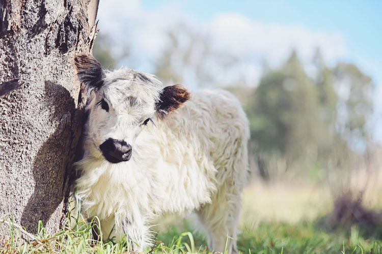 Close-up of calf by tree trunk on field