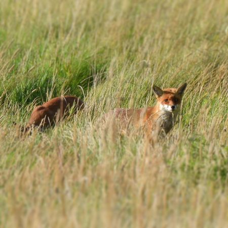 Fox cub Grass Outdoors Day Nature Field Mammal South Downs National Park Wildlife Photography Evening Nature Reserve. Lancing  Countryside Field Grass Eyes Hunter Cub Fox Baby Parent