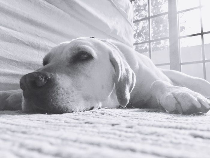 EyeEm Selects Dog One Animal Animal Themes Pets Lying Down Domestic Animals Relaxation Mammal Sleeping Resting Indoors  Close-up Day No People Bed