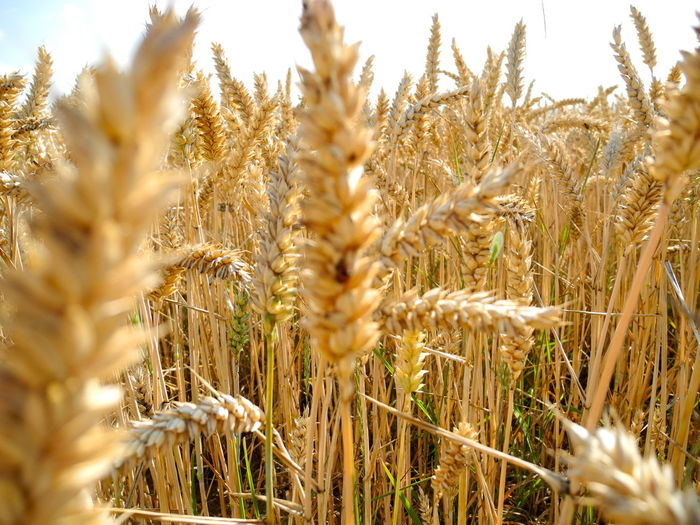 Wheat Plant Cereal Plant Crop  Agriculture Growth Wheat Field Farm Nature Land Rural Scene Close-up Selective Focus No People Day Tranquility Beauty In Nature Landscape Ear Of Wheat Outdoors Stalk