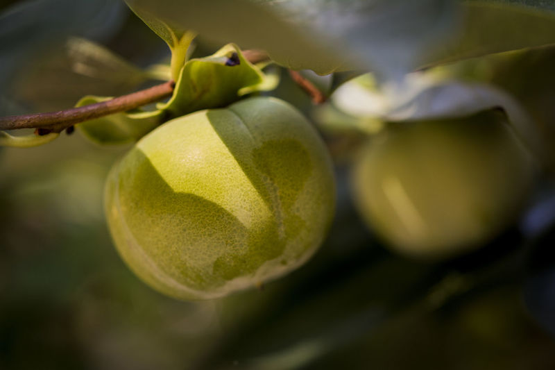 Close-up of persimmon growing on twig