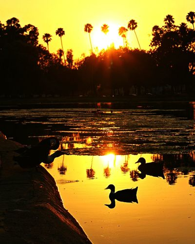 Golden hour at the lake...💛💛 43 Golden Moments Golden Hour Golden Sunset Sunset Summer Vibes Golden Moment Golden Light Lake Reflection Water Reflection Duck In The Lake Ducks Sunset Silhouettes Silhouettes And Shadows Silhouettes Sunlight And Shadow Magic Hour