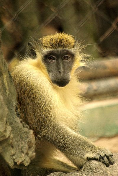 Green Monkey in the Zoo Green Monkey Lonely Waiting Zoo Animal Animal Themes Looking At Camera Monkey Sitting