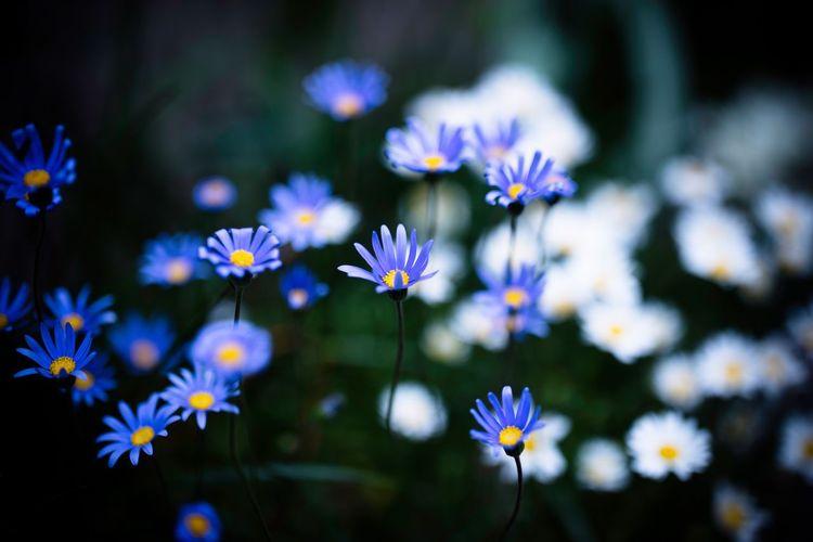 Flower Little Flower Roadside By The Roadside Bokeh Depth Of Field Canon 5dsr Zeiss Otus 55 1.4 Kobe Japan