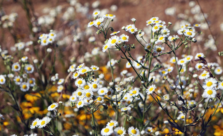 Abundance Beauty In Nature Blooming Blossom Botany Close-up Daisy Day Flower Flower Head Focus On Foreground Fragility Freshness Growing Growth In Bloom Nature No People Outdoors Petal Plant Selective Focus Stem White Color Yellow First Eyeem Photo