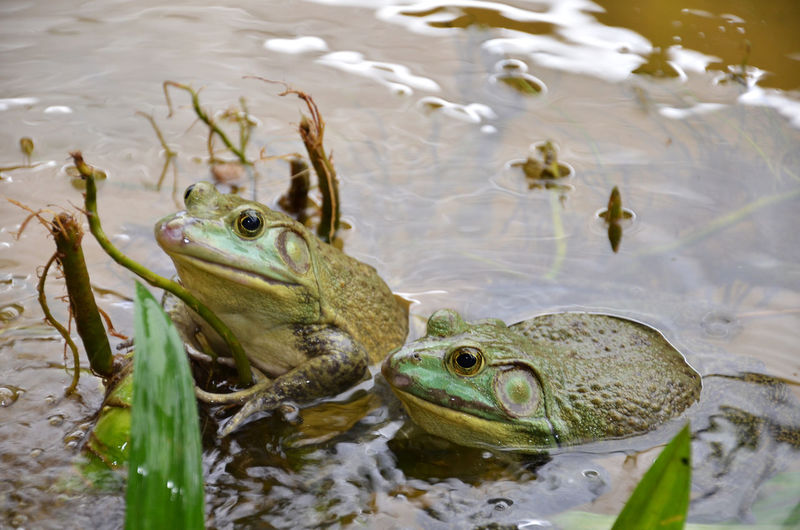 Close-up of frogs in lake