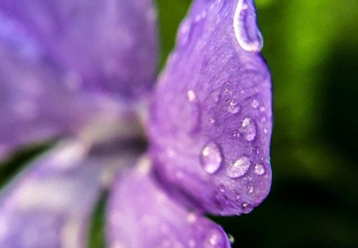 Check This Out Flowers Purple Flower Purple Green Hello World Drops Drop Rain Drops Photo♡