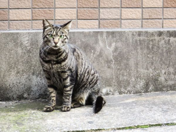 Stray Cat Domestic Cat Cats Cat Watching Cat Lovers Animals 野良猫