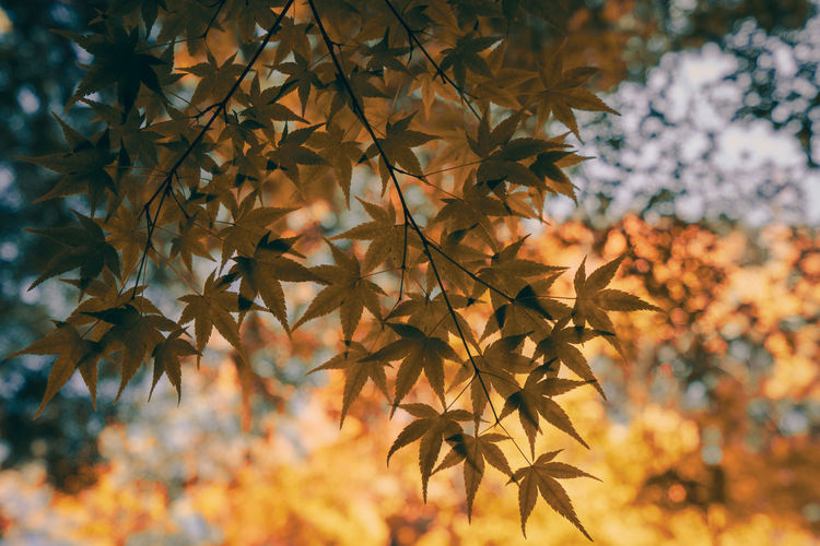 Artistic Autumn colors Film Japanese  Low Angle View Nature Travel Trees Abstract Backgrounds Change Maple Leaf Seasonal Vintage