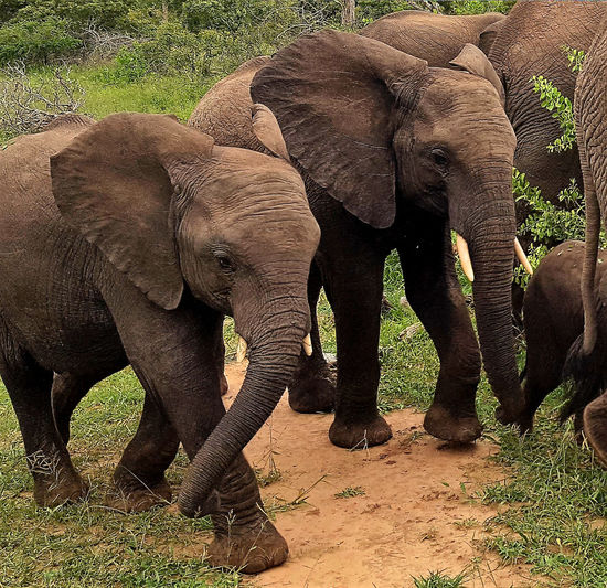 Elephant Animals In The Wild Animal Wildlife African Elephant Animal Trunk Mammal Animal Themes Safari Animals Outdoors Togetherness No People Elephant Calf Tusk Day Nature Two Animals