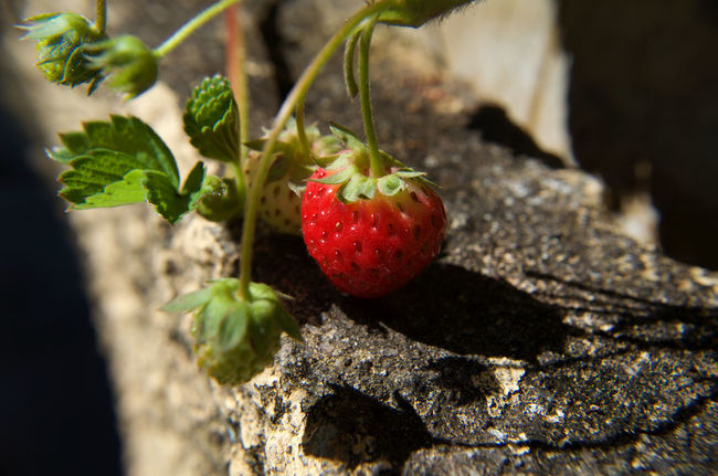 Berry Fruit Freshness Fruit Growth Nature Plant Red Selective Focus Strawberry