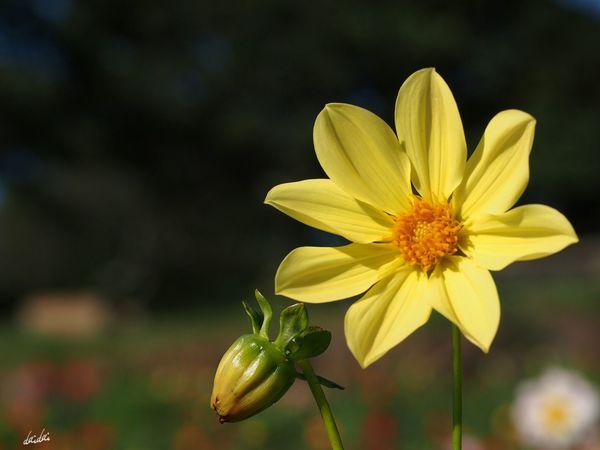 親子 E-PL3 Flower Dahlia No Edit/no Filter
