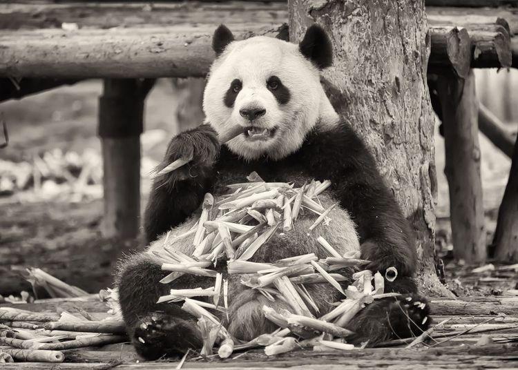 Enjoying life. Storytelling Documentary China Chengdu Travel Animal Animal Themes Panda - Animal Mammal No People