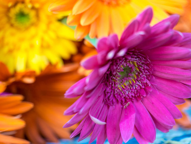 Backgrounds Beauty In Nature Blooming Close-up Colorful Flower Fragility Freshness Multi Colored Nature Nature Photography Nature_collection Petal Yerberas