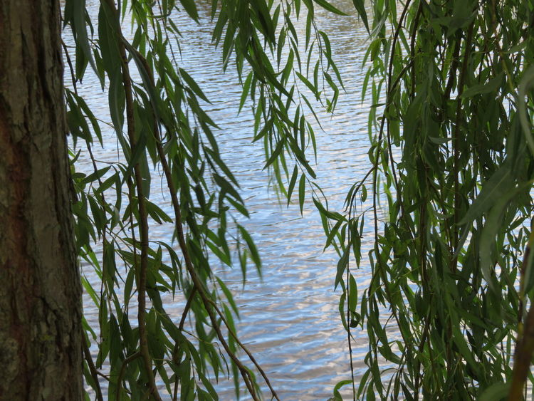 Through the leaves Plant Growth Water Day Tree Nature Green Color No People Beauty In Nature Tranquility Leaf Outdoors Waterfront Scenics - Nature Lake Plant Part Branch Tranquil Scene Environment Bamboo - Plant Alkmaar October