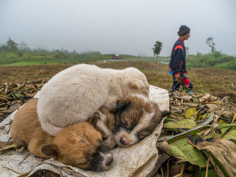 Early morning on the farm the cold misty air makes it easy for the kids to cuddle up and sleep while the adults are already working the field . Sumatra  INDONESIAPuppy Love Candid People Sleeping Photojournalism Landscape Farm Puppies Cute Furry SleepyPuppyNight Night, Sleep Tight Original Experiences
