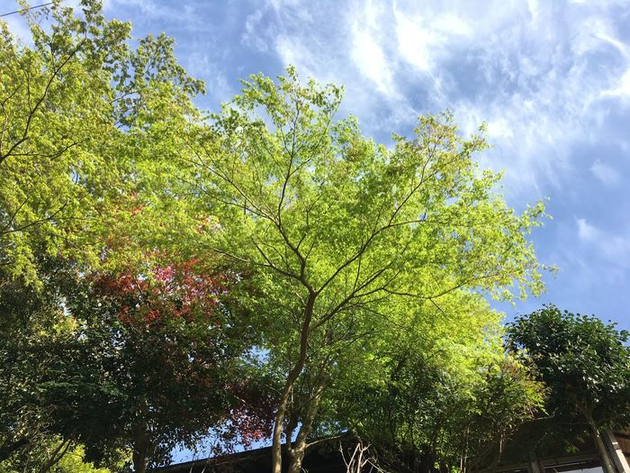 Blue Sky Day Freshness Green Leaves Maple Tree No People Outdoors Tree