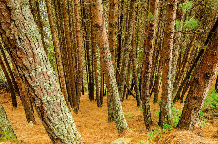 Dense pine tree forest with ground covered in dry pine needles Brown Colombia Coniferous Day Enviornment Foliage Forest Grass Growth Landscape Nature Needle Needles Orange Outdoors Path Pine Rural Scene Trainquil Tree Trees Trunk WoodLand Woods