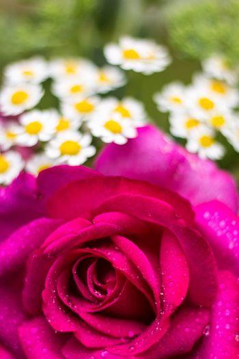 Blumenstrauß Blumen Rosé Flowers Rot Red Pflanze
