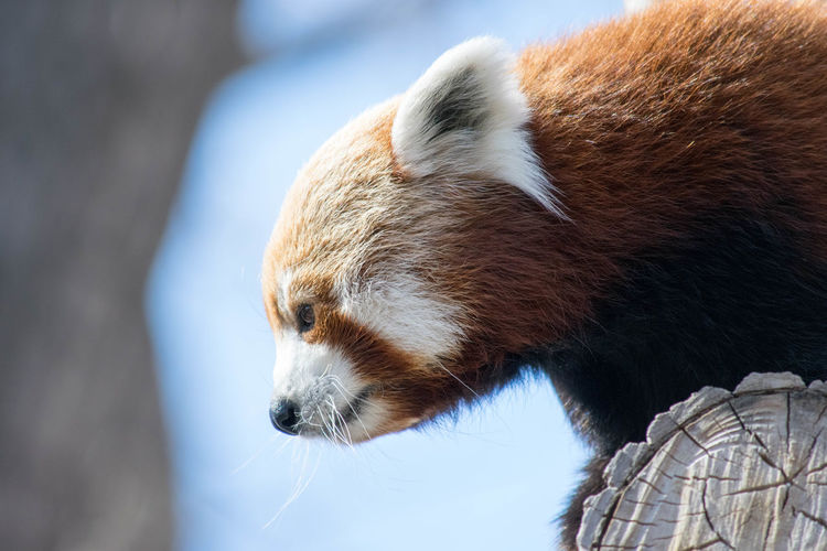 Low Angle View Of Red Panda On Wood