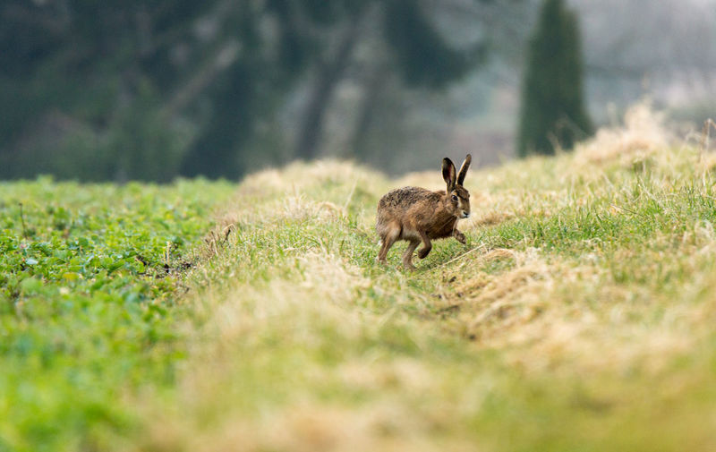 Feldhase, flüchtend Hasenartige Lepus Europaeus Animal Themes Animal Wildlife Animals In The Wild Day European Hare Feldhase Field Grass Hare Mammal Nature No People One Animal Outdoors Selective Focus
