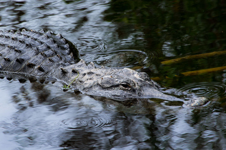 Alligator Alligator Lake Alligators Animal Beauty In Nature Close-up Day Everglades  Everglades National Park EyeEm Nature Lover Florida Florida Life From My Point Of View Lake Nature Nature No People Outdoors Reflection Rippled Selective Focus Water Water Surface Waterfront Wild Life