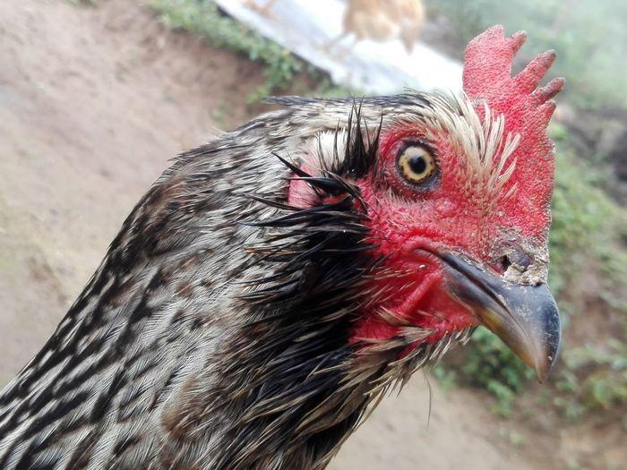 gallina Gallina De Finca Gallina Roja Farm Hen Red Hen Beautiful Hen