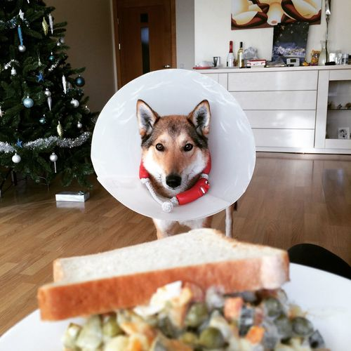 Dog Siberian Laika She Wants  To  Eat Lithuanian Home Salad Cold Winter
