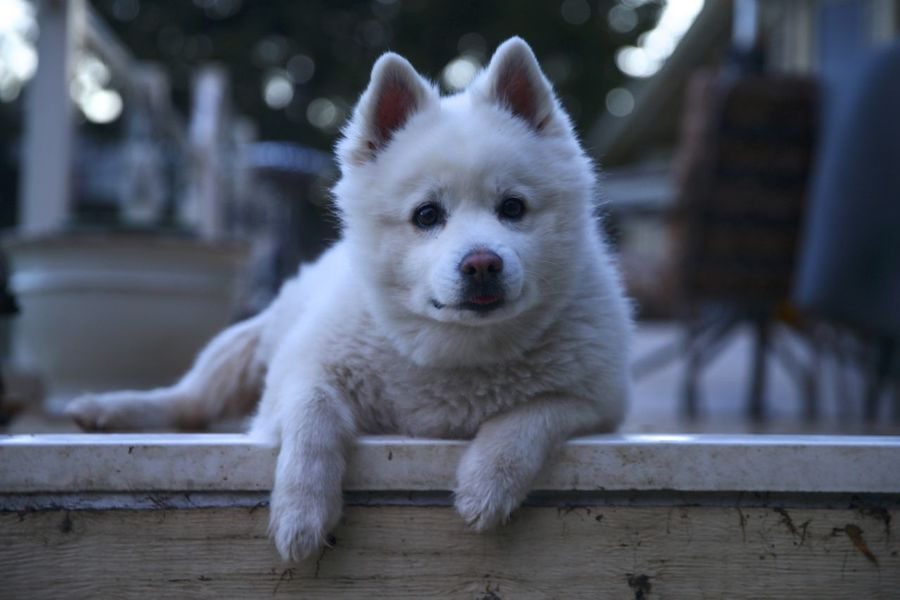 Peanut the American Eskimo dog just chilling. American Eskimo Animal Themes Close-up Day Dog Domestic Animals Focus On Foreground Looking At Camera Mammal No People One Animal Outdoors Pets Portrait