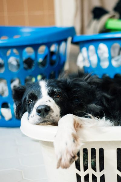 Dog days Laundry Day Laundry Lazy Dog Day Dog Portrait Border Collie Dog Dogs EyeEm Selects Dog Pets