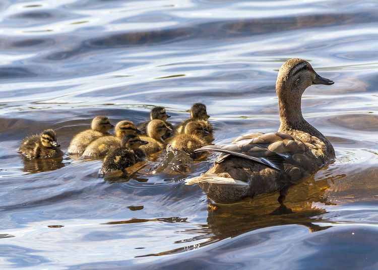 Animal Family Animal Wildlife Animals In The Wild Baby Ducks Bird Close-up Day Ducklings Flock Of Birds Hatched Lake Nature Protective Togetherness Water Young Animal Young Bird