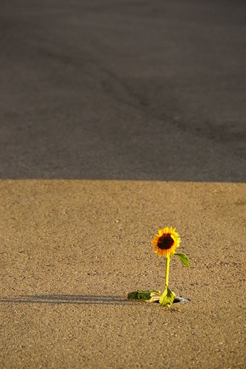Iluminated Flower Light And Shadow On The Street Lonely Sunflower No People No Photoshop Outdoors Plant Sony A6000 Sunflower Poking Out Of Tarmarc To Be Left Alone When The Party Is Over!!!