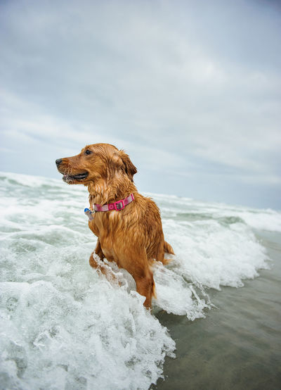 Golden Retriever Enjoying In Sea Against Cloudy Sky