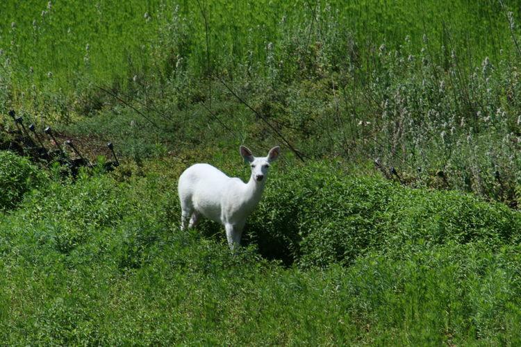 Albino Deer @ Oleson Park in Fort Dodge, Iowa // Canon EOS DIGITAL REBEL XTi Albino Albinodeer Animal Beauty In Nature Deer Fort Dodge Iowa Grass Grassy Green Color Lush Foliage Nature Oleson Park Outdoors Park White