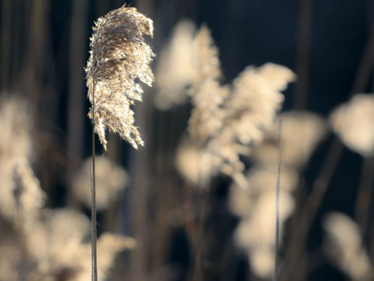 Backlit Beauty In Nature Close-up Focus On Foreground Fragility Growth Light And Shadow Like A Feather Nature No People Outdoors Plant Reeds Softness Sunlit
