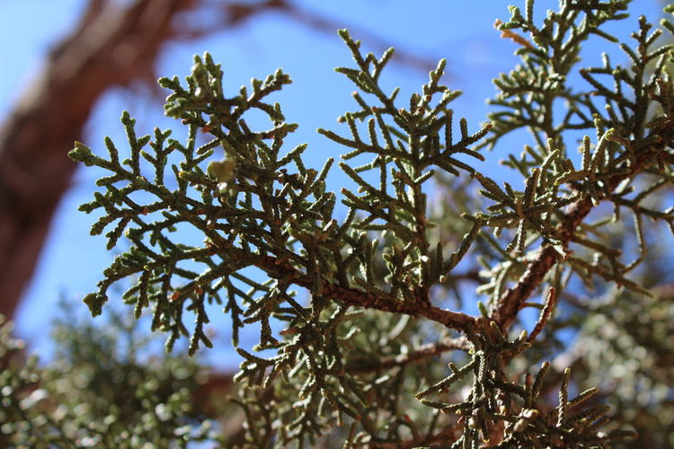 Plant Growth Tree Close-up Branch Selective Focus Beauty In Nature Day Nature No People Focus On Foreground Low Angle View Tranquility Sky Outdoors Cold Temperature Twig Leaf Plant Part Sunlight Pine Tree Coniferous Tree