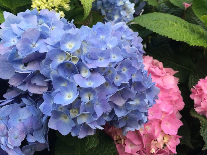 Hydrangeas Growth Beauty In Nature Flower Plant Vulnerability  Flowering Plant The Great Outdoors - 2018 EyeEm Awards Petal Day Pink Color Plant Part Purple Nature Flower Head Freshness Close-up Hydrangea No People Fragility Inflorescence Leaf