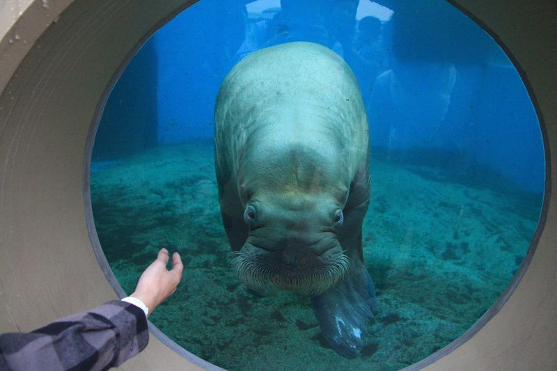 Cropped Hand Of Person By Walrus In Aquarium