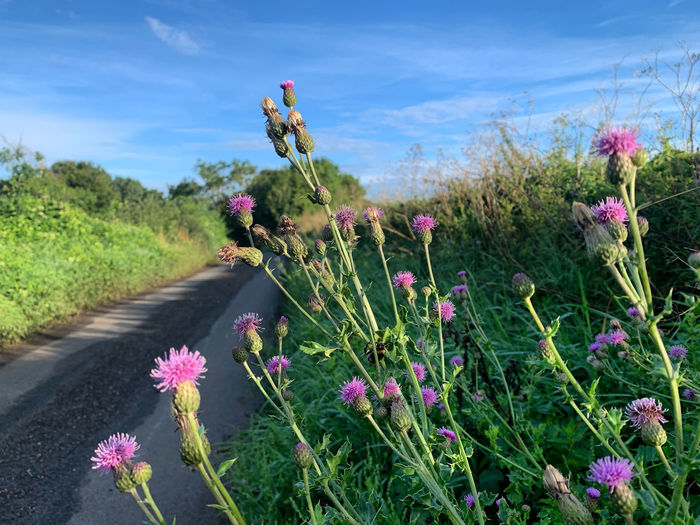 Close-up of pink flowering plants on road