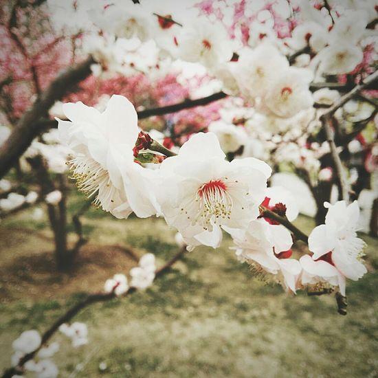 Flower Blossom Nature Sakuraflowers Travel Beauty In Nature