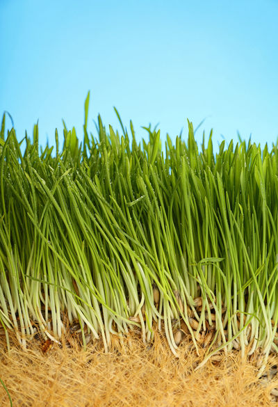 Green grass, wheat, oats with roots and water drops over blue sky, close up Agriculture Beauty In Nature Blue Cat Cereal Plant Close-up Day Field Freshness Grass Grass Grass And Sky Grassy Green Color Growth Nature No People Oats Outdoors Plant Roots Roots Of Life Sky Water Drops Wheat