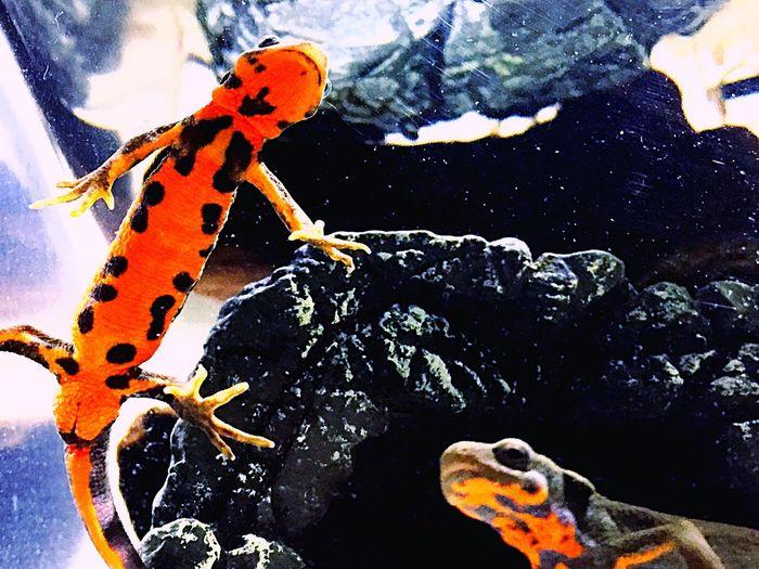 Newt アカハライモリ Japanese Fire Belly Newt 両生類 Amphibians Close-up