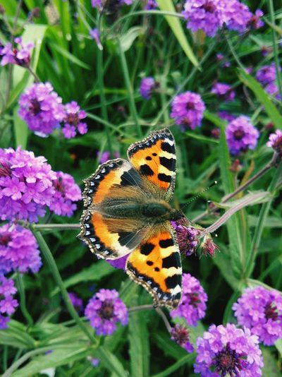 A Beautiful Close-up of a Butterfly - Insect on Small Purple Flowers . Featuring Flower Insect Beauty In Nature Nature Fragility Animals In The Wild Plant Butterfly High Angle View Outdoors No People Full Length Freshness Day Petal Pollination Growth Background Focus On Foreground