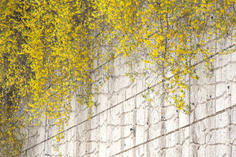 Abundance Backgrounds Beauty In Nature Blooming Botany Close-up Day Flower Forsythia Fragility Full Frame Green Green Color Growing Growth In Bloom Nature No People Outdoors Plant Spring Time Tranquility Wall Yellow