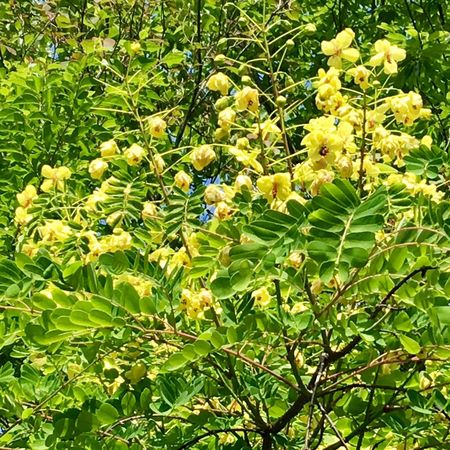 Subject : A Number of Yellow Blossoms of an Unkown Tree by the Roadside. Beauty In Nature Nature Plant Blossoms  Yellow Color Tree Leaf Green Color Growth Freshness Day Outdoors No People Close-up . Taken in Higashi-Hiroshima , Japan on May 23, 2017 ( Submitted on June 20, 2017 )
